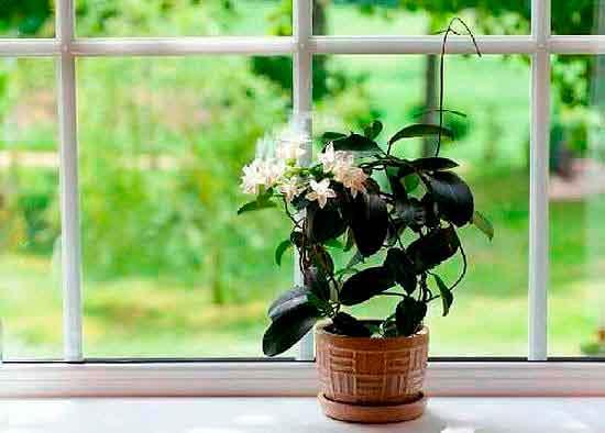 Самополив растения в горшке.